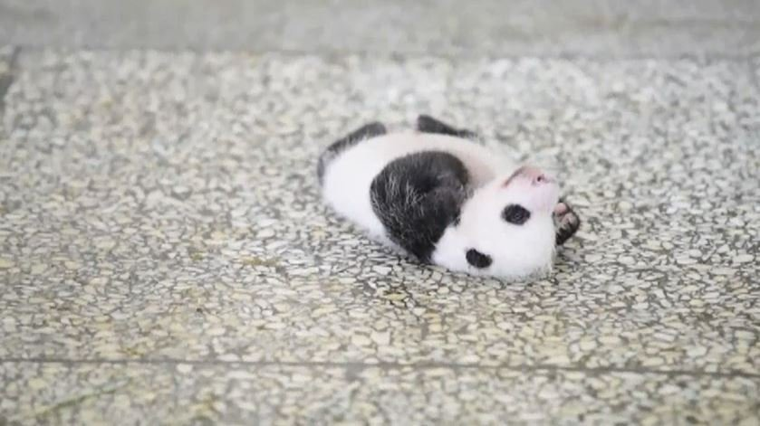 Baby Panda in China Tries to Turn Over