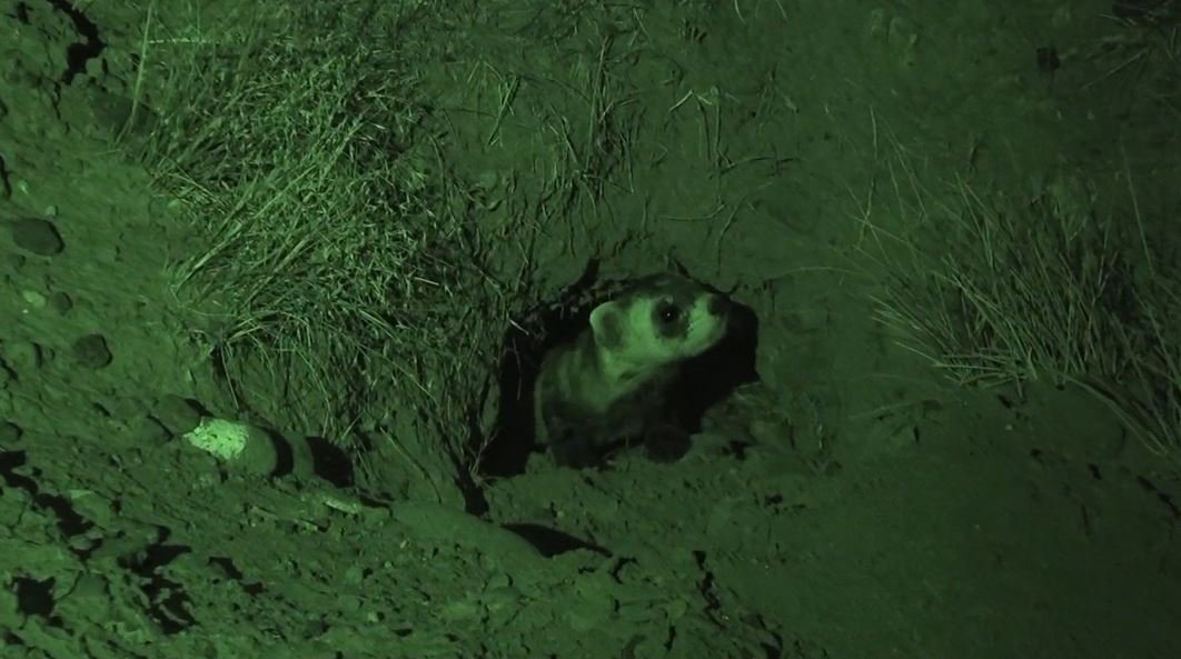 Black-footed ferrets successfully return to Wyoming