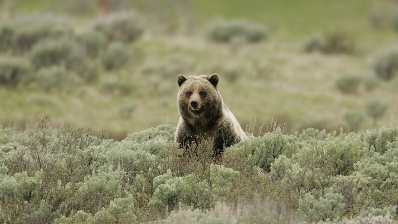 States won't rush approval of Yellowstone grizzly hunts