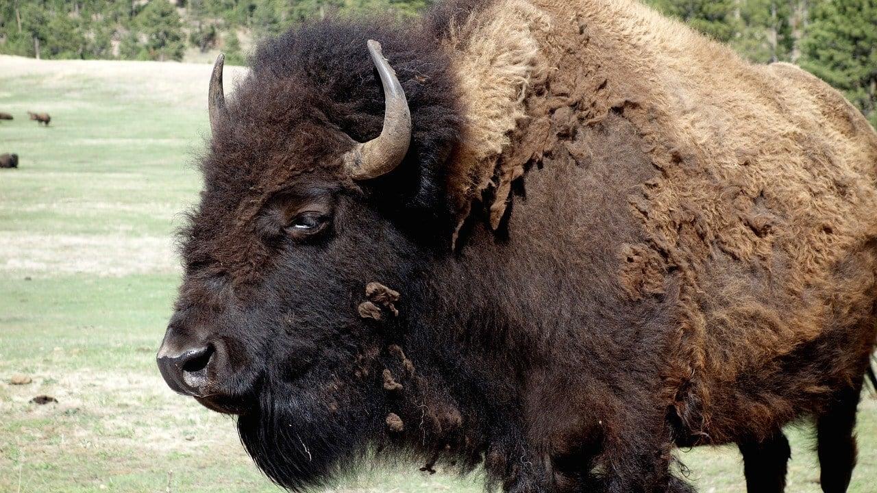 Vehicle strikes, fatally injures Yellowstone bison