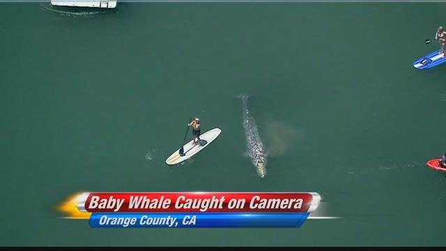 Baby whale spotted in Dana Point Harbor