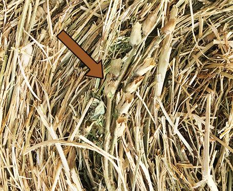 Invasive Species Found in Hay
