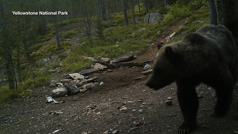 Campsite raiding Yellowstone grizzly bear captured, killed