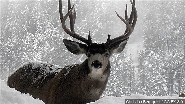 Mule deer CWD hunt to close Sunday evening
