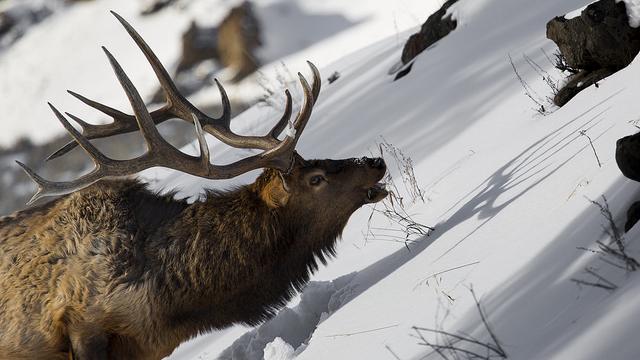 Yellowstone elk; Photo Credit: Yellowstone National Park