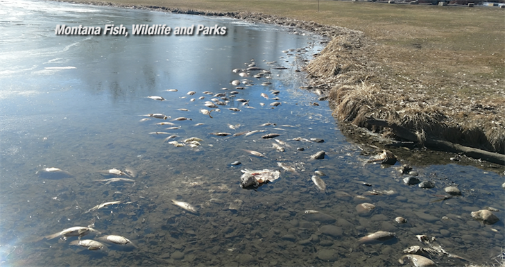 Fish that died from winter conditions line the shore of Riverfront Park on the south edge of Billings.