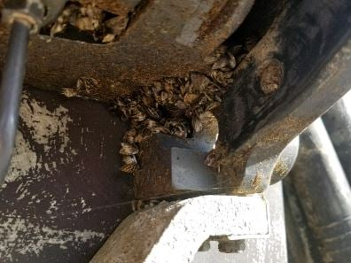(Courtesy: MT Fish, Wildlife and Parks) Zebra mussels found on bottom of boat