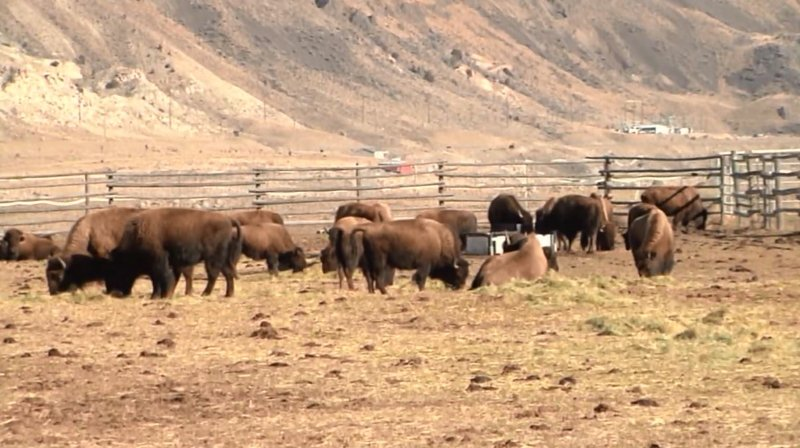 National bison day fun facts news sports and for Bison motors great falls