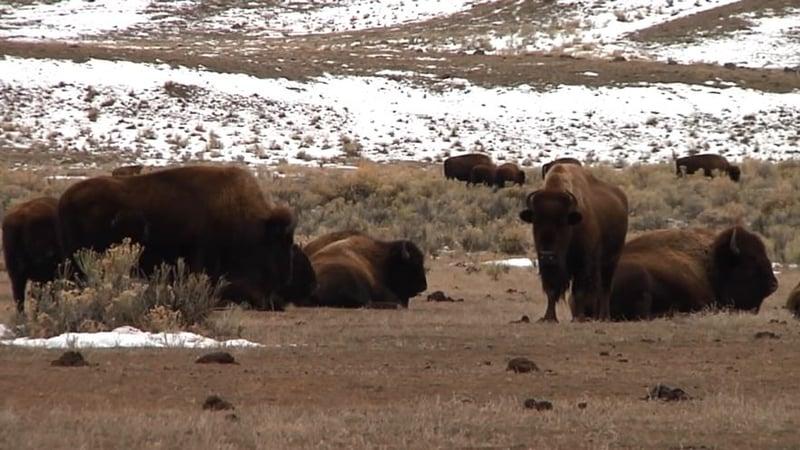 Montana temporarily blocks bison slaughters for Bison motors great falls mt