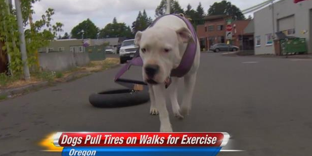 Oregon man exercises dogs with tire pulling kulr8 news oregon man exercises dogs with tire pulling sciox Images