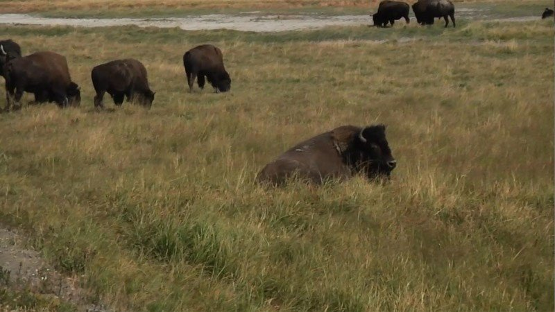 Montana tribes 39 request for bison hits hurdle for Bison motors great falls