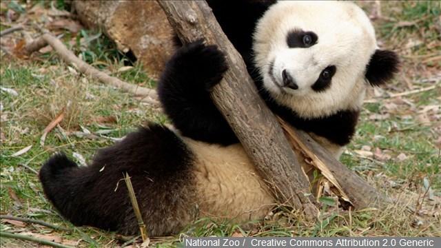 beibei the giant panda videos youtube