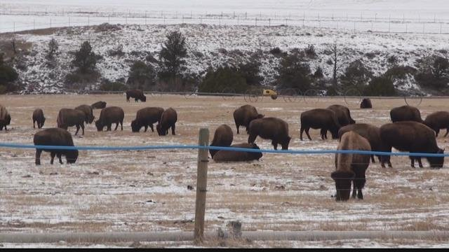 Yellowstone meets low end of goal for bison removal kfbb for Bison motors great falls