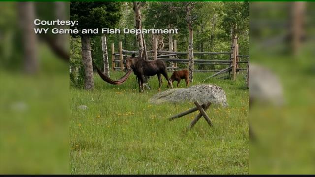 Bighorn Mountains Moose Study | KULR 8